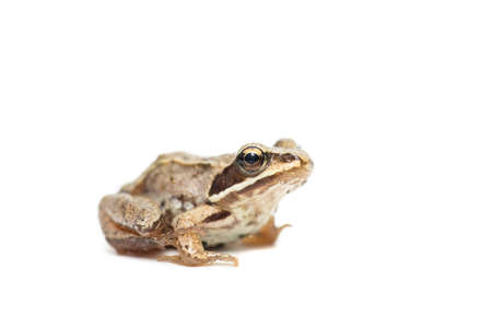 But. Common (European) toad on a white background.
