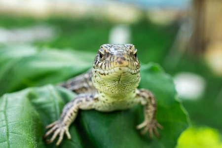 The head of a female lizard, macro photo of the head of a female lizard, Lacerta agilis