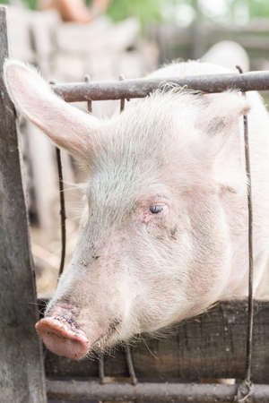 Pink pigs on the farm. Swine at the farm. Meat industry. Pig farming to meet the growing demand for meat