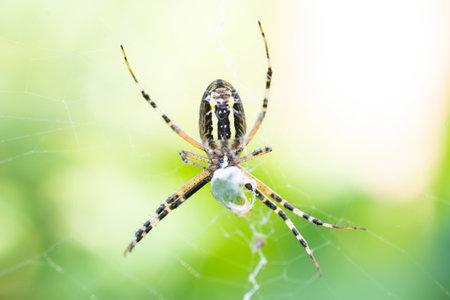 Wasp spider (Argiope bruennichi) on web with prey. Black and yellow stripe Argiope bruennichi wasp spider on web 版權商用圖片