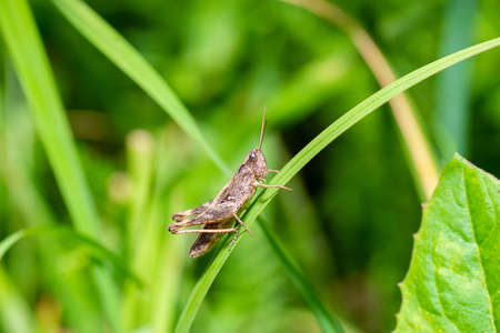 Large marsh grasshopper (Stethophyma grossum), a threatened insect species typical for wet meadow and marsh