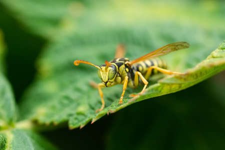 Wasp on a green leaf. Parts of the body of a wasp close-up. Insect close-up. Yellow pattern on the black body of a wasp. Green background. nature, Macro image