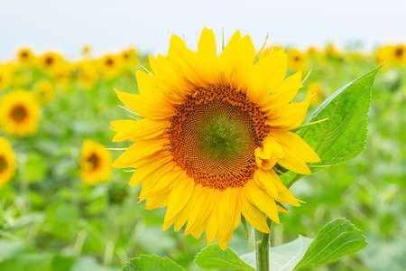 Sunflower natural background. Sunflower blooming. Close-up of sunflower. 版權商用圖片