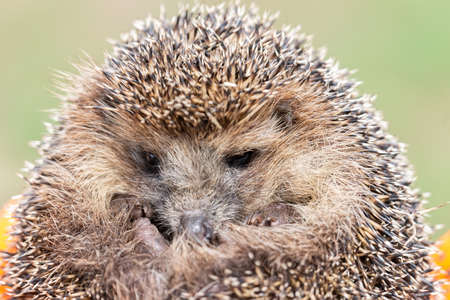 Hedgehog (Scientific name: Erinaceus Europaeus) close up of a wild, native, European hedgehog, facing right in natural garden habitat on green grass lawn. Horizontal. Space for copy.