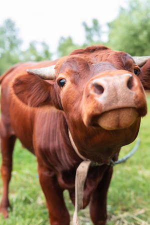 Red angus heifer portrait picture blue sky background