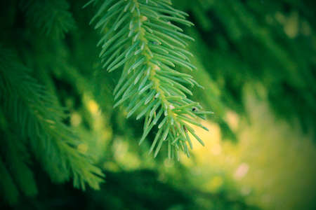 Detail of green conifer branches in spring forest. Stock Photo