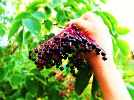 herbolaria: El cobro de saúco en el otoño para la producción de mermelada y vino