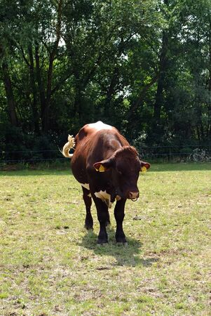 bull rings: Bull grazing in a meadow in the summer.