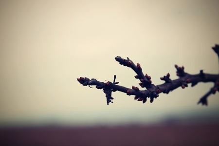 gloom: The branch with buds in the evening gloom.