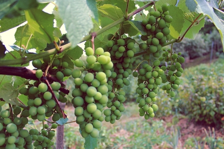 ripening: Ripening grapes on the field in summer
