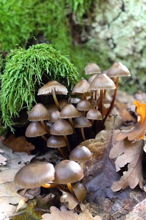 fungi woodland: Clump of mushrooms in the forest in summer