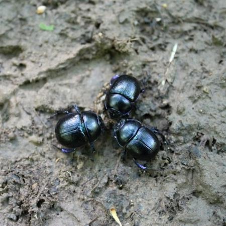 Three dor beetle in the park. Dor beetle.