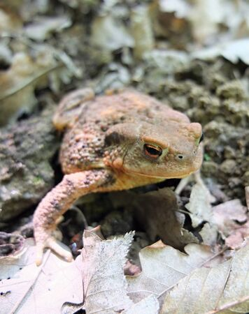 insectivorous: Toad in the forest. Toad in the park. Frog sitting on leaves.