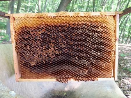 honey comb: Bee honey comb. Honeycomb in forest.Wild bees