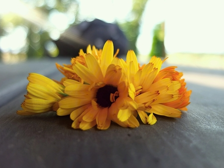 Marigold flowers on a table. Healthy marigolds. Yellow marigolds flowers. Stock Photo