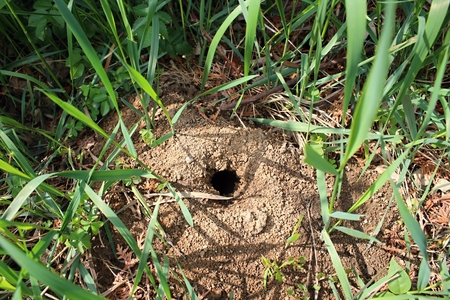 molehill: Mole hole in the ground in the garden.