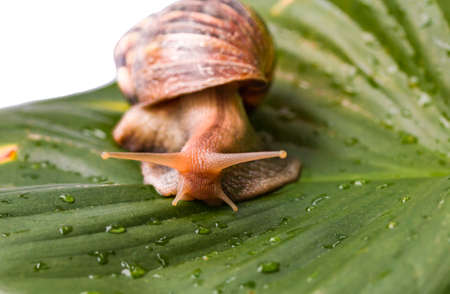 The Snail is isolate on leaf background.