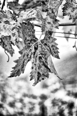 b w: leaf on the branch in black and white Stock Photo