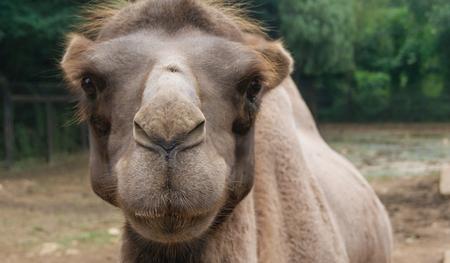 Camel faces close-up picture