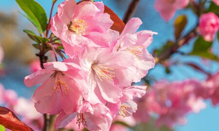 Close-up shot of springtime peach tree blossoms, blue sky on the background. Banque d'images