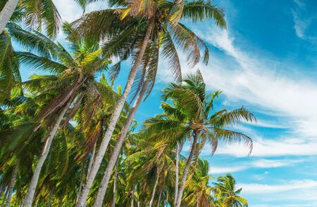 Bottom view of palm trees against a beautiful blue sky. Green palm tree on blue sky background. View of palm trees against sky. Palm tree in gentle tropical breeze. View of nice tropical background.