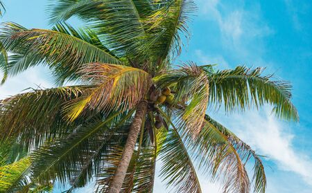 Bottom view of palm trees against a beautiful blue sky. Green palm tree on blue sky background. View of palm trees against sky. Palm tree in gentle tropical breeze. View of nice tropical background. Banque d'images - 126862538