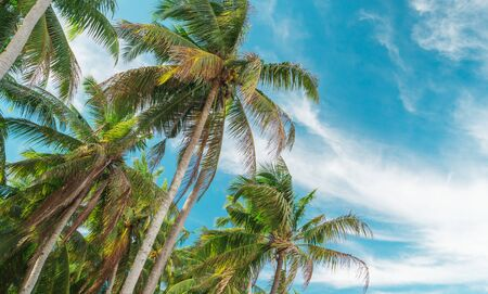 Bottom view of palm trees against a beautiful blue sky. Green palm tree on blue sky background. View of palm trees against sky. Palm tree in gentle tropical breeze. View of nice tropical background. Banque d'images - 126862539