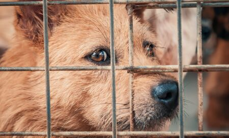 Portrait of sad dog in shelter behind fence waiting to be rescued and adopted to new home. Banque d'images - 135987321
