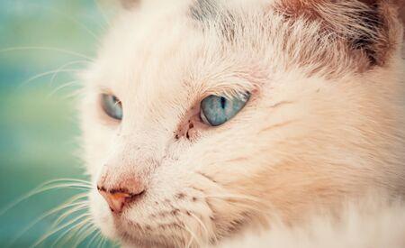 Portrait shot of blue eyes homeless stray cat living in the animal shelter. Shelter for animals concept