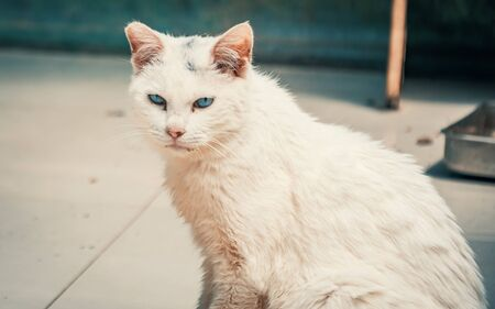 Portrait shot of blue eyes homeless stray cat living in the animal shelter. Banque d'images - 136608018