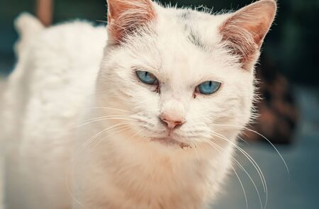 Portrait shot of blue eyes homeless stray cat living in the animal shelter. Banque d'images - 136608015
