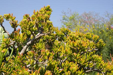クラッスラ属 Ovata 'ゴラム' 玉多肉植物 -「ET の指」として知られている