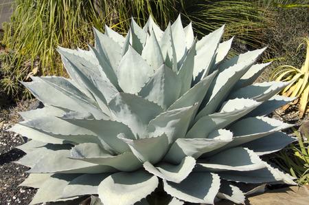 先の尖った葉を持つ青いリュウゼツランの植物
