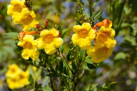 reddish: Yellow allamanda flowers with reddish veins and buds Stock Photo