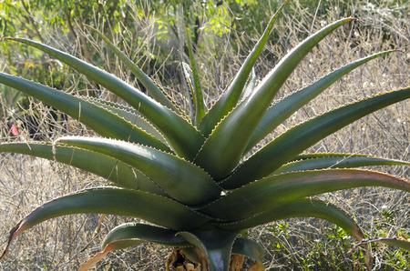 緑の先のとがった葉とアロエベラの植物