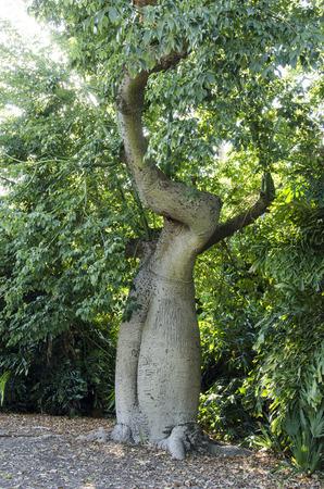 大型トランクとバオバブの木