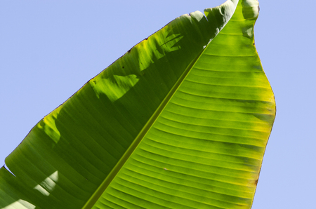 palm frond: Palm frond lit by sun from behind Stock Photo