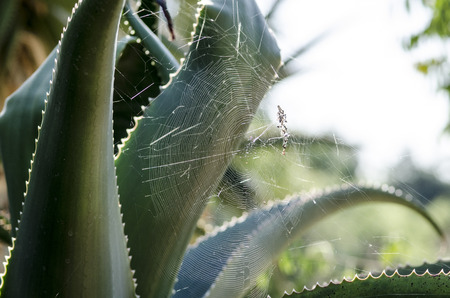 Large spider web between leaves of an aloe vera plant Stok Fotoğraf