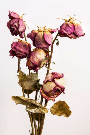 De oude rozen Stockfoto