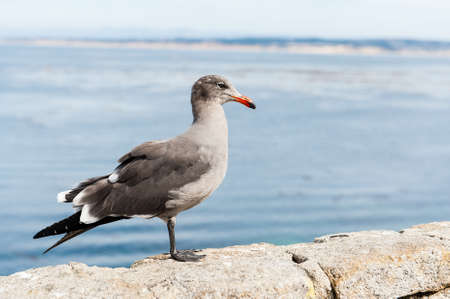 The grey seagull close to the sea