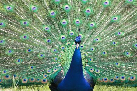 peacock wheel: Pavone