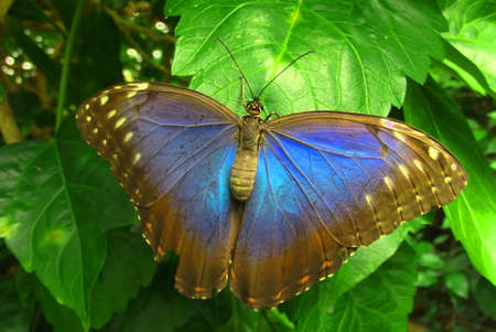 Ulysses butterfly Papilio Ulysses photo