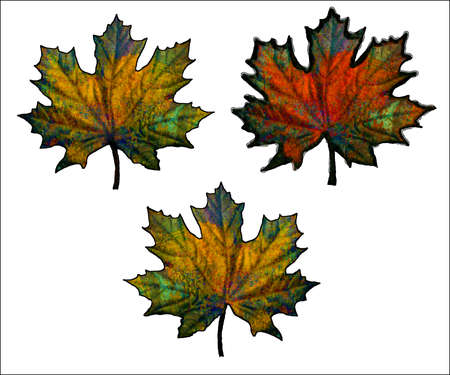 lila: Vector feuilles d'�rable - illustration