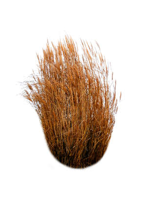 pine boughs: Illustration of dry reeds