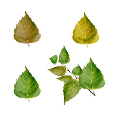 Набор векторных зеленых листьев березы для вашего дизайна Иллюстрация