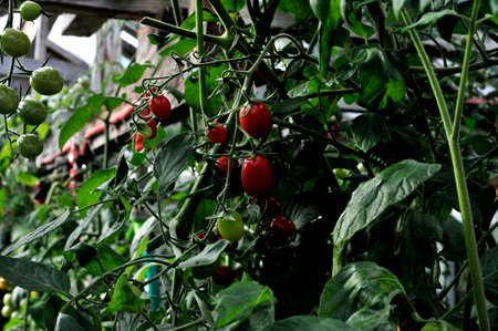 monoculture: growth cherry tomatoes in a greenhouse