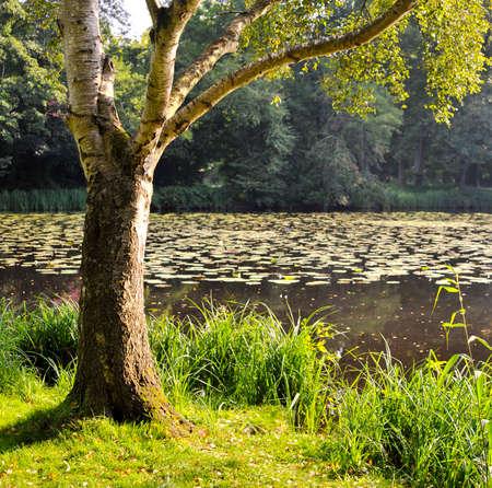 Береза на фоне озера с лилиями Фото со стока