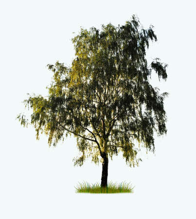 tree isolated: aislado solo �rbol de abedul