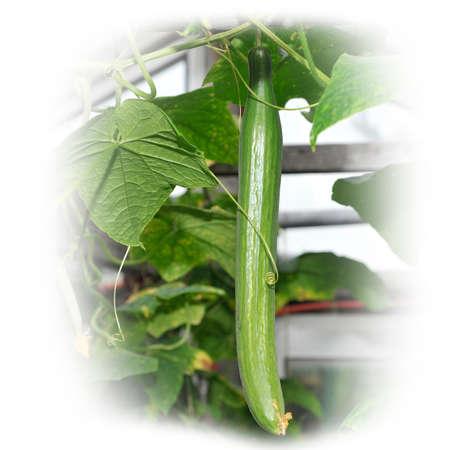 Огурец растет в саду Фото со стока