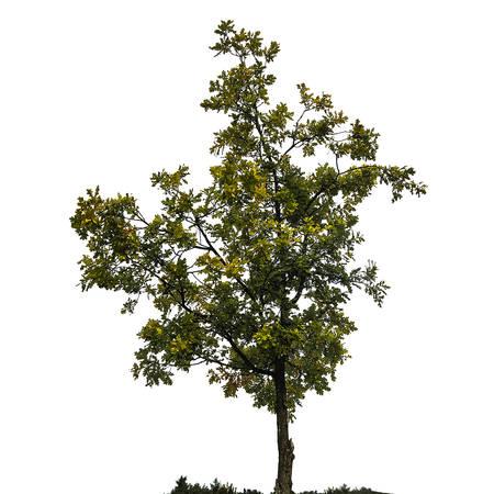 oak tree silhouette: Oak tree silhouette isolated on white background